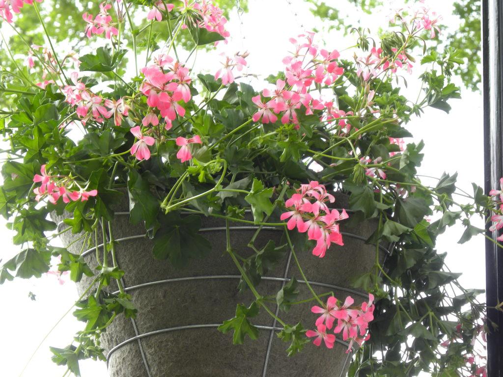 Cascading Pink Geranium Hanging Baskets